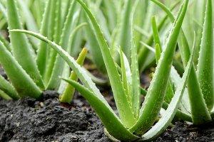Aloe vera proti zubnímu kameni
